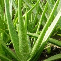 Aloe Vera Jelly, Aloe Vera Leaf