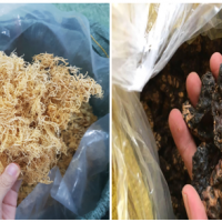 Dries Sea Moss and Noni Fruit