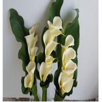 Springalways Callas