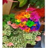 Springalways Tinted Mums