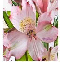 Springalways Alstroemeria
