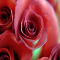 Springalways Roses