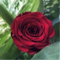 Preserve Roses Jumbo Size