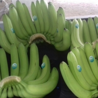 Banana Suppliers, Manufacturers, Wholesalers and Traders