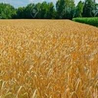 Fodder Wheat Russian Origin Non GMO