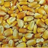 Corn & Maize