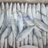 Fish Indian mackerel