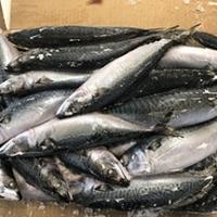 Mackerel Scomber Japonicus Fish