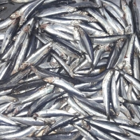 Northern Anchovies