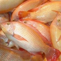 Frozen Whole Round Tilapia Fish