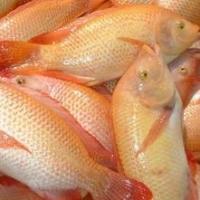 Frozen Tilapia Fillets, Tilapia Fish
