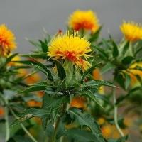 Safflower Oil Natural Herbal Slimming Oil