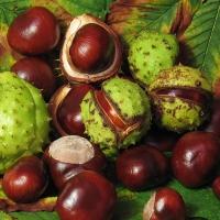 Wild Horse Chestnut Oil