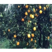 Egyptian Orange With High Quality