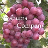 Fresh Grapes With High Quality