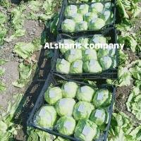 Fresh Iceberg Lettuce With High Quality