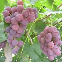 Egyptian Fresh Grapes With High Quality