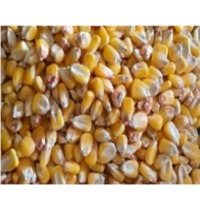 Yellow Corn With High Quality