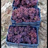 Egyptian Grapes