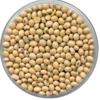 High Protein Soya Bean Seeds