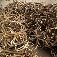 Red Deer Antlers ( Premium Quality )
