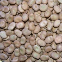 Dried Broad Beans Or Fava Beans