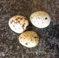 Fertilized Quail Eggs, Quail Chicks