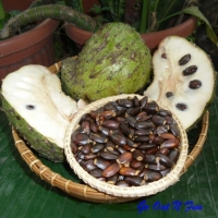 Soursop Seeds