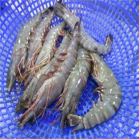 Fresh Shrimps Suppliers, Manufacturers, Wholesalers and Traders