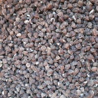 Moringa Seed Without Wings