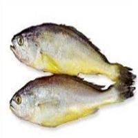 Korean Yellow Corvina Fish