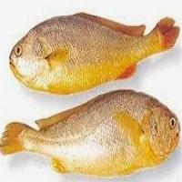 Korean Tasty Yellow Corvina Fish
