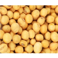 Soybeans (GMO and Non GMO)