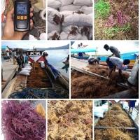 Eucheuma Cottoni Seaweed