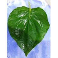 Fresh Betel Leaves Mitha ( Sweet) Pali