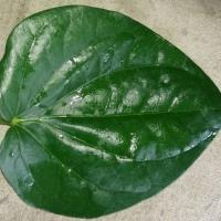 Kolkata Betel Leaves
