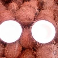 Pollachi Matured Semi Husked Coconuts