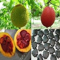 Gac Fruit Seeds - Momordica Cochinchinensis