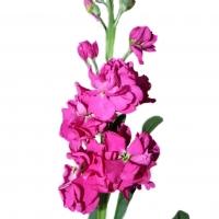 Fresh Summer Flowers ( Aleli )