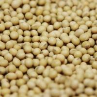 GMO Soybean