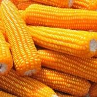 Yellow Corn, White Corn For Human & Animal Feed