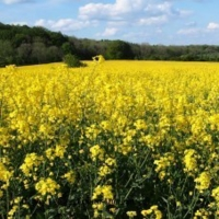 Rape Seeds / Canola Seeds