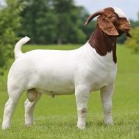 Boer Goat, Saanen Goats, Ram Sheep