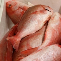Whole Round Seafood Frozen Red Snapper Fish