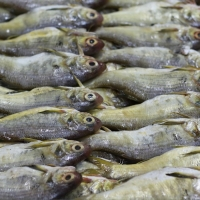 Frozen Threadfin Fish