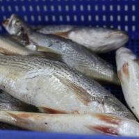 Quality Delicious IQF Frozen Croaker Fish