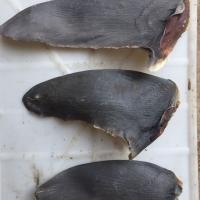Dry Shark Fins
