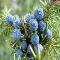 Juniper Berry Oleoresin