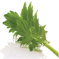 Lovage Oleoresin