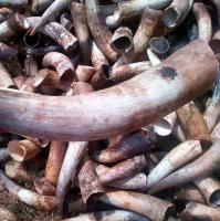 Natural Organic Cheap Cow Horns